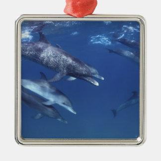 大西洋はイルカに斑点を付けました。 Bimini、バハマ。 8 メタルオーナメント