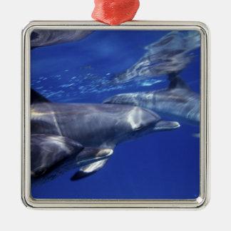 大西洋はイルカに斑点を付けました。 Bimini、バハマ。 9 メタルオーナメント