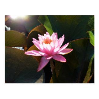 太陽に照らされた《植物》スイレンのピンク花水庭 ポストカード
