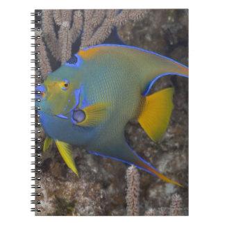 女王のAngelfish (Holacanthusのciliaris)の水泳 ノートブック