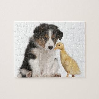 子ガモを持つボーダーコリーの子犬(6週古い) ジグソーパズル