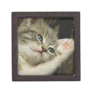 子ネコは、大きい青い目とそれに、あります置きます ギフトボックス