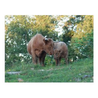 子牛の郵便はがきを持つ高地牛 ポストカード