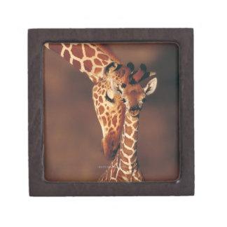 子牛(Giraffaのcamelopardalis)を持つ大人のキリン ギフトボックス