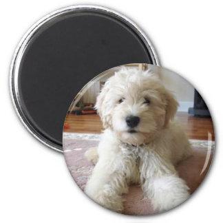 子犬のGoldendoodleの磁石 マグネット