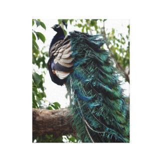 孔雀の挨拶 キャンバスプリント
