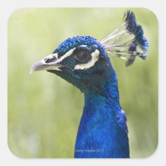 孔雀の頭部 スクエアシール