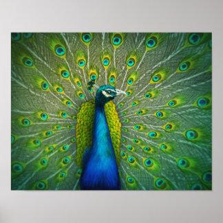 孔雀-野性生物の芸術ポスター11x14 ポスター