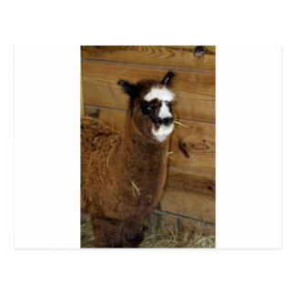 小さいベビーのアルパカ- Vicugnaのpacos ポストカード