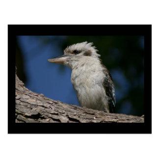 小さいkookaburra ポストカード