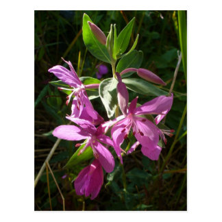 小型Fireweedの花、Unalaskaの島 ポストカード