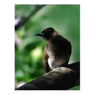 少しヒヨドリ科の鳥の提起 ポストカード