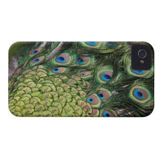 尾を表示しているオスの孔雀(Pavoのcristatus) Case-Mate iPhone 4 ケース