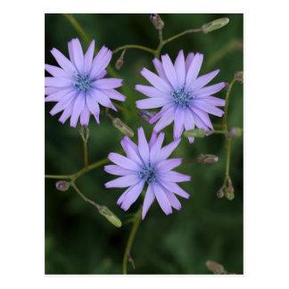 山のレタスの花 ポストカード