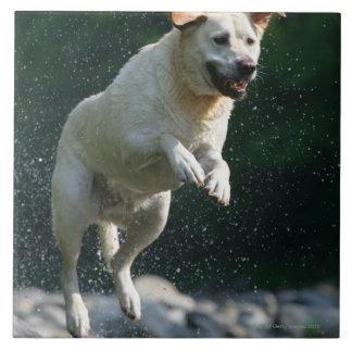 川に飛び込んでいる金ラブラドル・レトリーバー犬 タイル