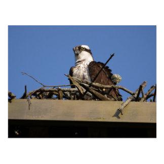 巣のミサゴ ポストカード