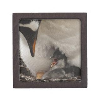巣のGentooのペンギン(Pygoscelisパプア)との ギフトボックス