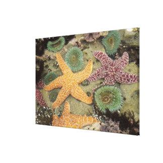 巨大な緑のアネモネおよび黄土色の海星 キャンバスプリント