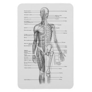 常に学びます: 人体の解剖学の図表 マグネット