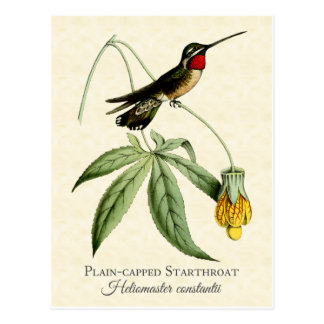 平野によっておおわれるStarthroatのハチドリのヴィンテージの芸術 ポストカード