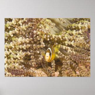 年少のクラークのAnemonefish (Amphiprion) ポスター