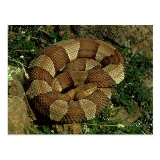 広バンドを付けられたcopperheadのヘビの郵便はがき ポストカード