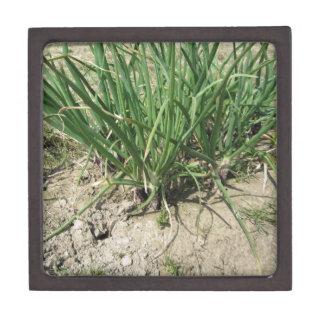 庭で育つ緑のニラネギの植物 ギフトボックス