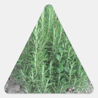 庭のローズマリーの植物。 タスカニー、イタリア 三角形シール