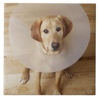 彼の首に円錐形を持つラブラドル・レトリーバー犬 タイル
