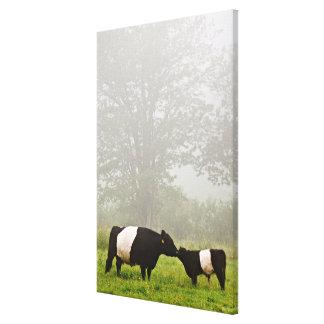 彼女を生み出しているギャロウェーベルトを付けられた牛の霧深い場面 キャンバスプリント