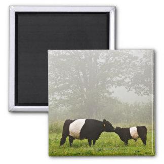 彼女を生み出しているギャロウェーベルトを付けられた牛の霧深い場面 マグネット