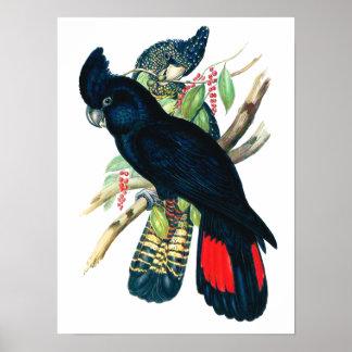 後につかれる赤(Banksianの)黒いオウム ポスター