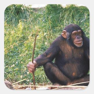得るべき用具として棒を使用してチンパンジー スクエアシール
