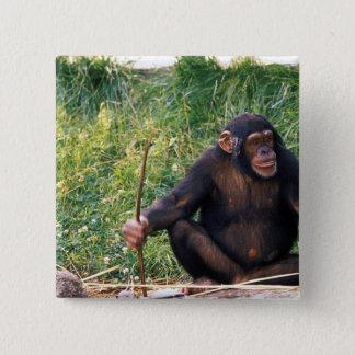 得るべき用具として棒を使用してチンパンジー 缶バッジ