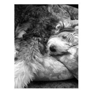 快適な居眠りの古い英国の牧羊犬 ポストカード