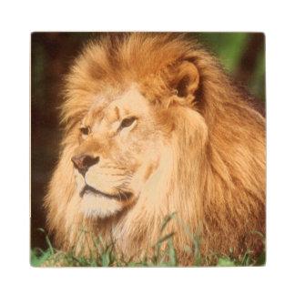 成人男子のライオン ウッドコースター