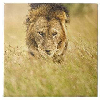 成人男子のライオン、ヒョウ属レオ、マサイ語マラ、ケニヤ タイル