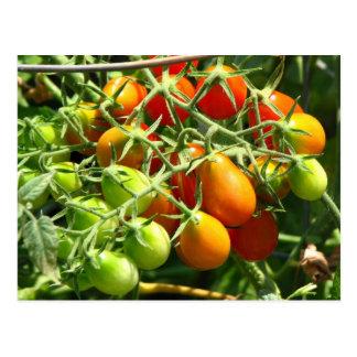 成長するトマト ポストカード