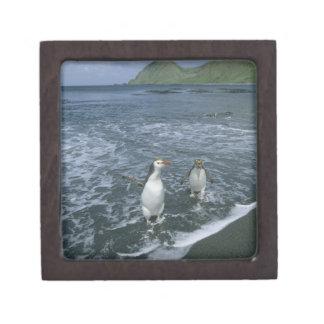 戻っている王室のなペンギン、(Eudyptesのschlegeli) ギフトボックス