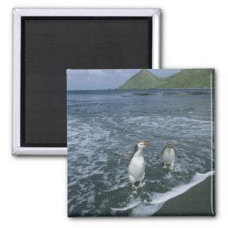 戻っている王室のなペンギン、(Eudyptesのschlegeli) マグネット
