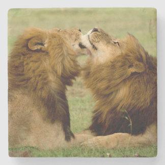 手入れをしているオスのライオン(ヒョウ属レオ) Maasaiマラ ストーンコースター