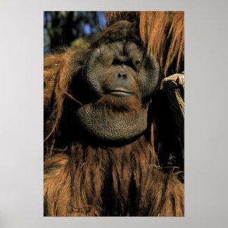 捕虜のオランウータン、かpongo pygmaeus. ポスター