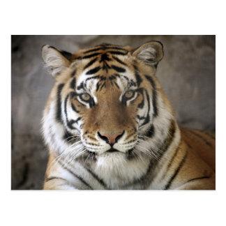 捕虜のトラ、Folsom都市動物園の聖域、 ポストカード