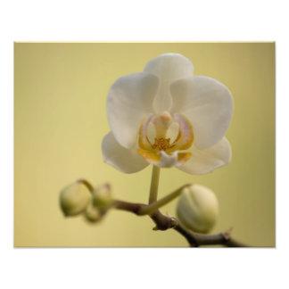 敏感で白い蘭 フォトプリント