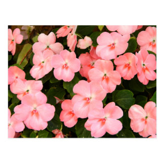 敏感なピンクの春の花 ポストカード