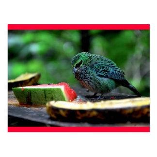 斑入りのフウキンチョウ族 ポストカード