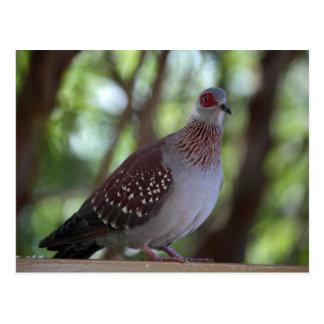斑入りハト(コルンバのギニー) ポストカード
