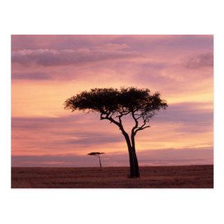 日の出のアカシアの木のシルエットのイメージ ポストカード