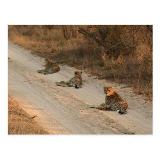 日の出の砂利道-郵便はがきの3頭のチータ ポストカード