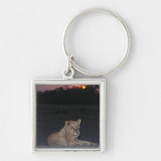 日の出の若いライオン キーホルダー